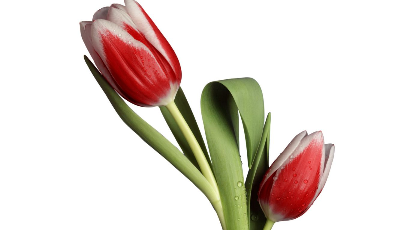 Scarlet Tulip Wallpapers 4k Wide Screen Wallpaper 1080p2k4k