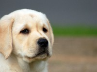 Cute Labrador Wide Screen Wallpaper