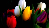 Colorful Tulips HD Wallpaper For Wide 16:10 5:3 Widescreen