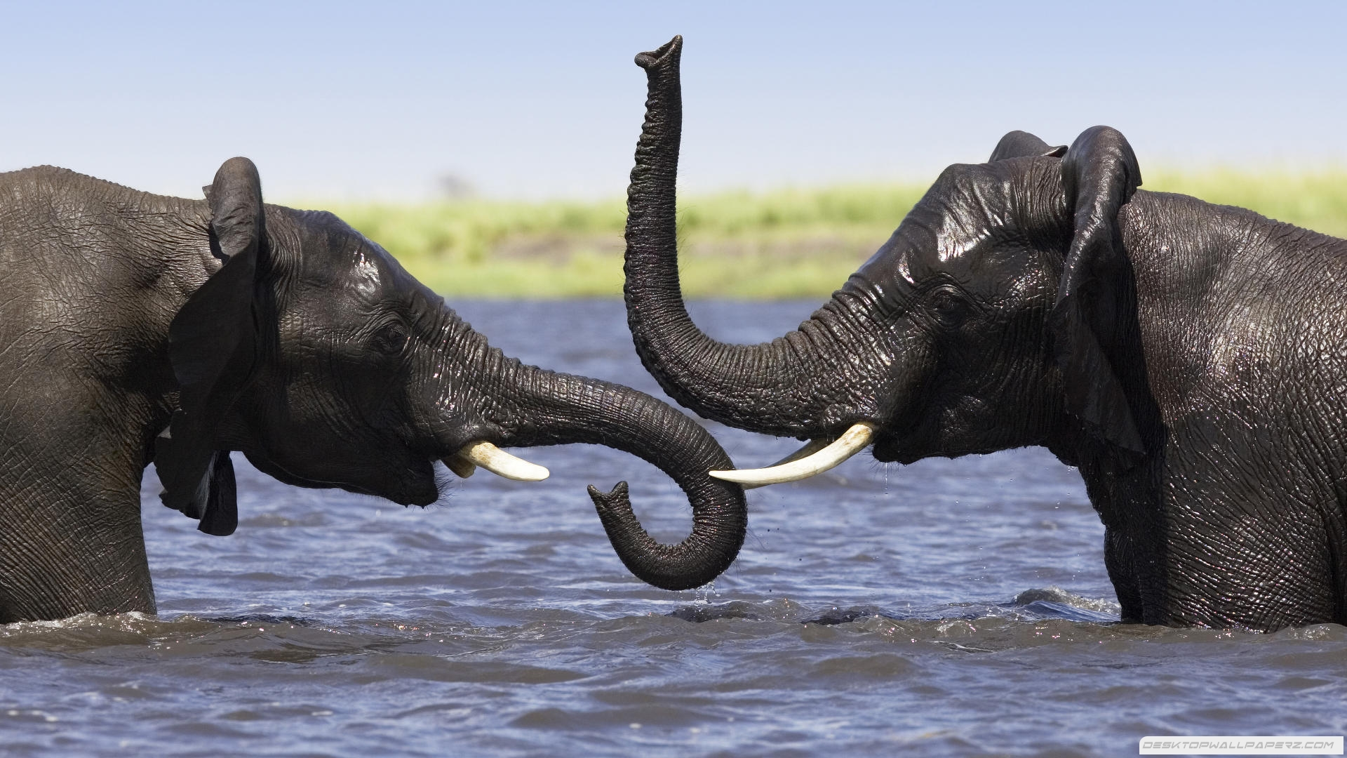 Elephant In Water 1920×1080 Wallpaper | Wide Screen Wallpaper 1080p,2K,4K