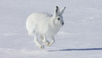 White Rabbit on Snow Wallpaper