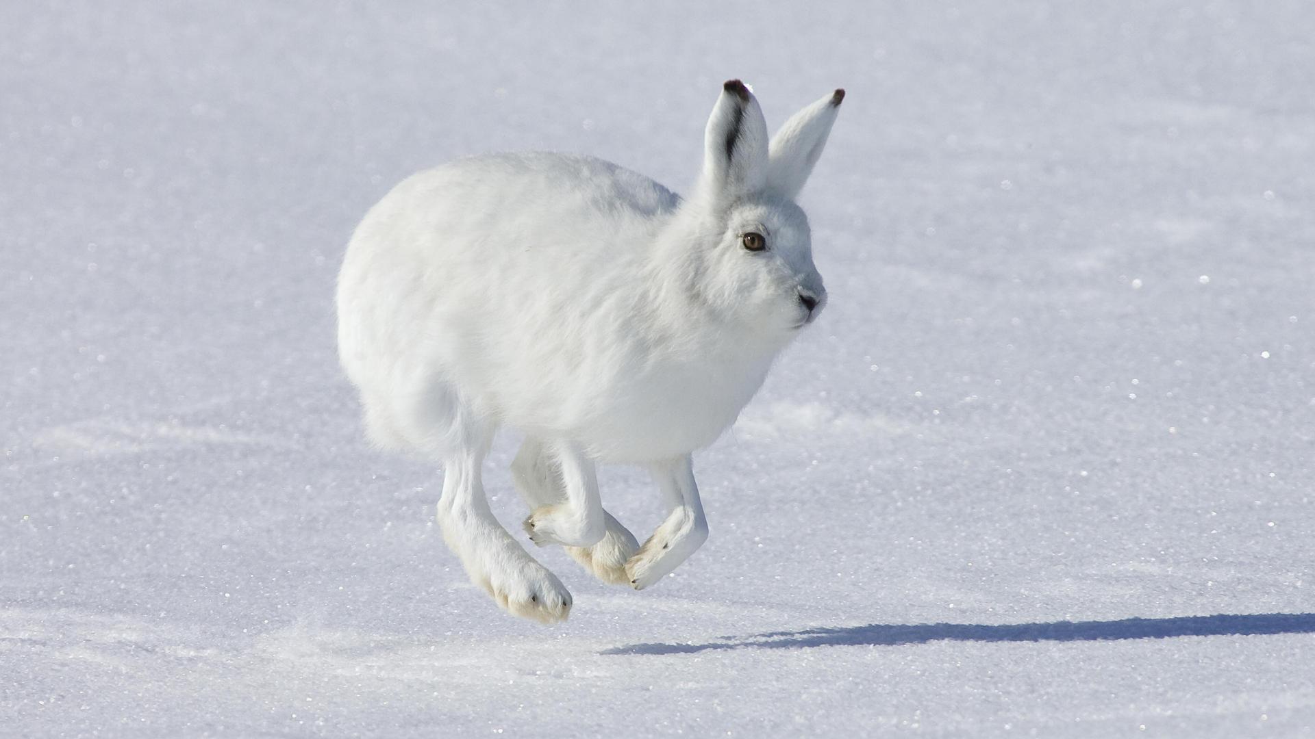 White Rabbit on Snow Wallpaper | Wide Screen Wallpaper 1080p,2K,4K