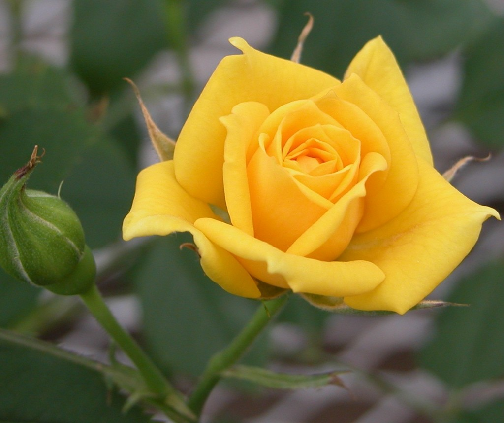 Yellow Rose Free Wallpaper For Download Desktop 1920×1080