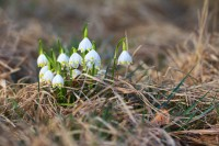 Snowdrops weeping