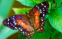 Beautiful Butterfly Wallpaper 445