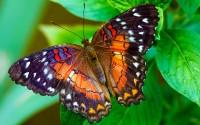 Beautiful Butterfly Wallpaper 445