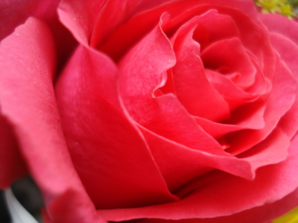 3d Rose Flowers Wallpaper Flowers Healthy