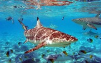 Sharks in Shallow Water Wallpaper