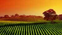 Vineyard Sunset Widescreen Wallpaper