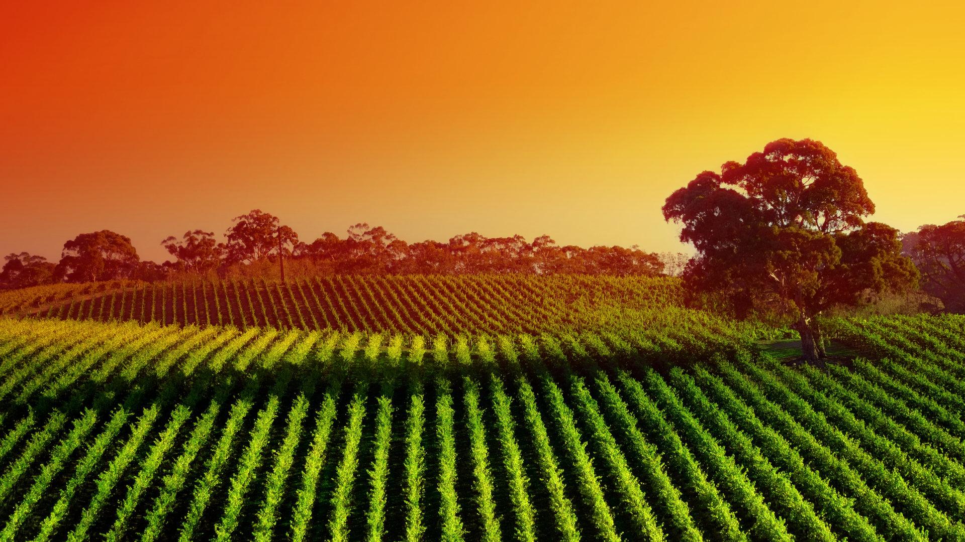 vineyard sunset widescreen wallpaper
