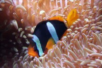 Tropical Clown Fish Wallpaper
