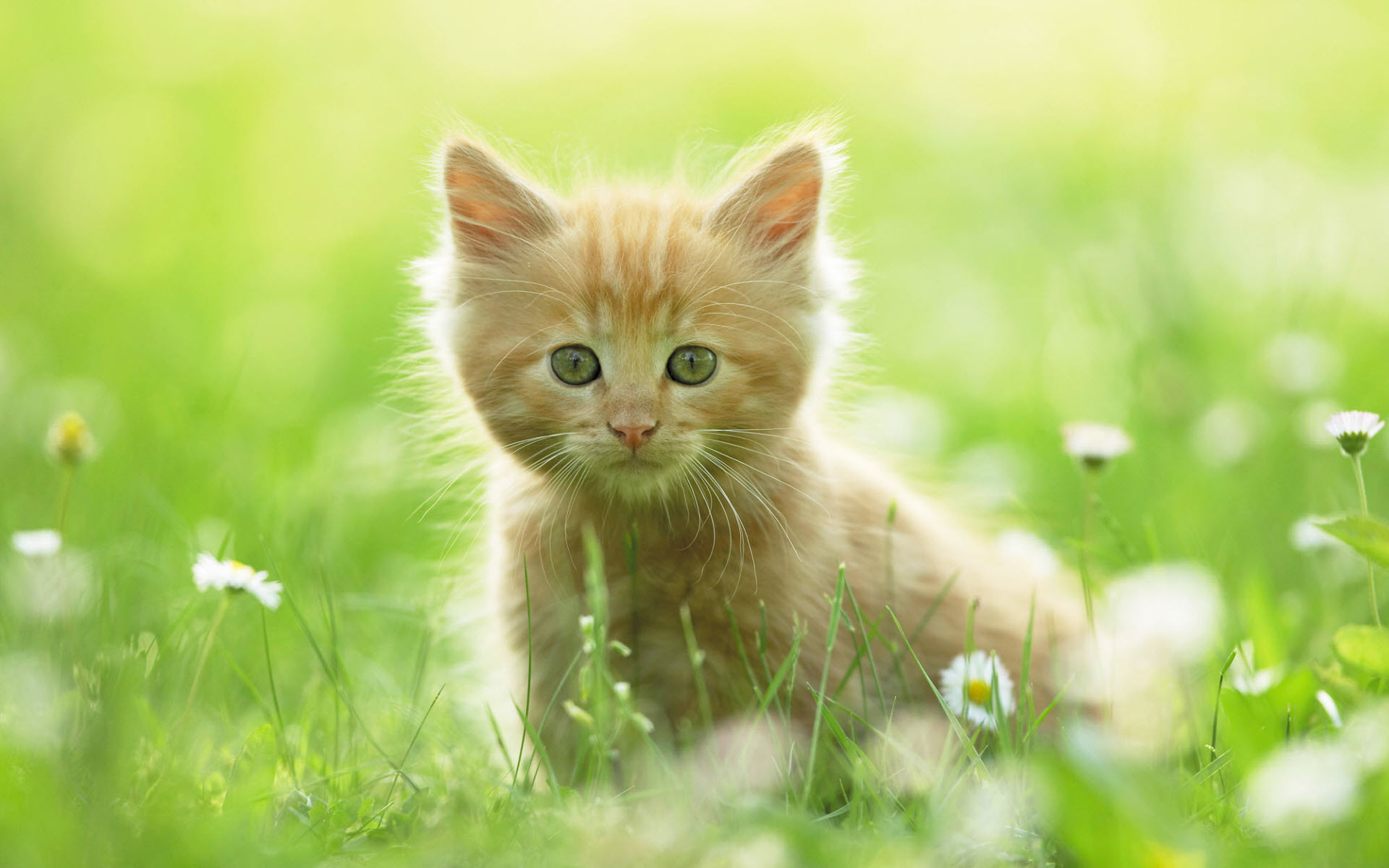 Curious Cute Kitten HD Wallpaper