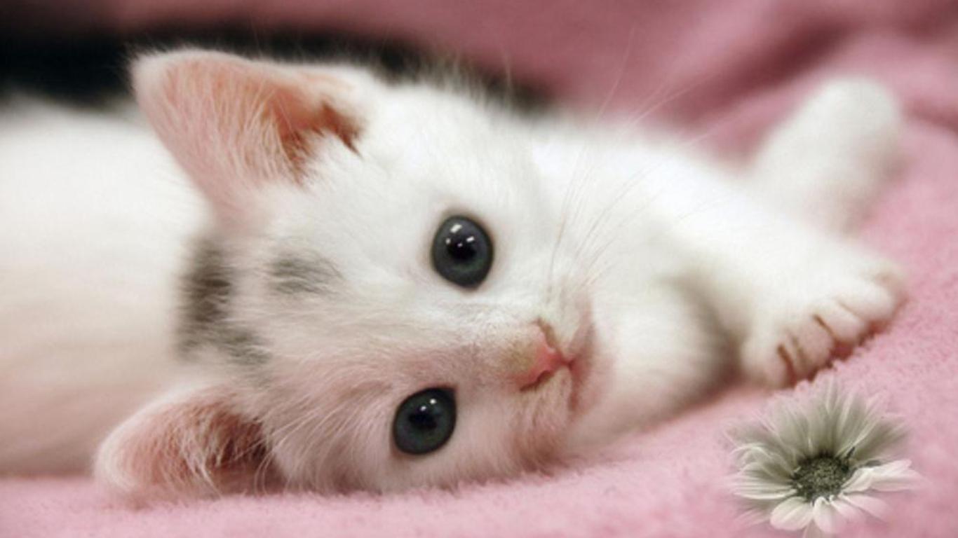 Cute White Kitten HD